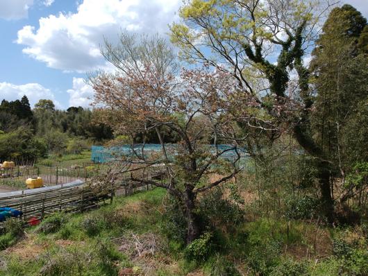 房総フィールド近くの山桜