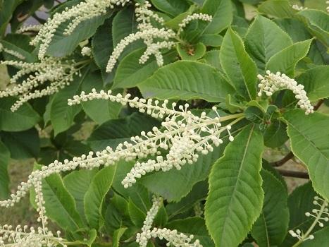 「リョウブ ~白い小花の総状花序」