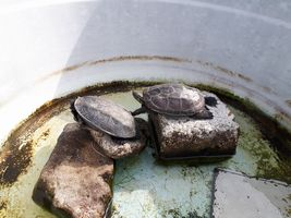 【写真】タライに置いた石の上で日光浴をするカメのクロとトラ