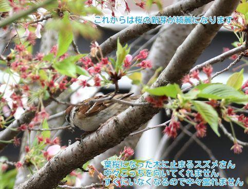 ①桜スズメ