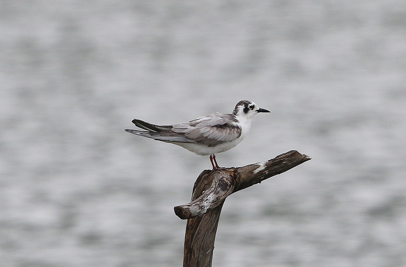 ④クロハラアジサシ幼鳥488A0860_S