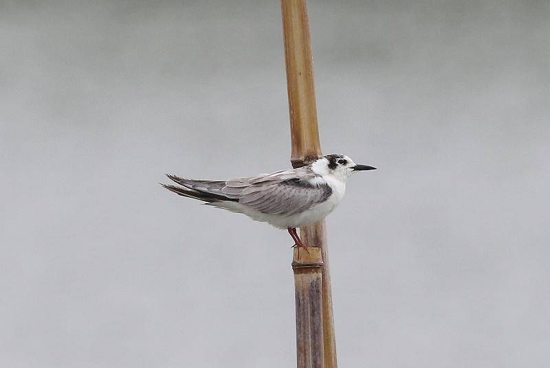 ⑤クロハラアジサシ幼鳥488A0797_S