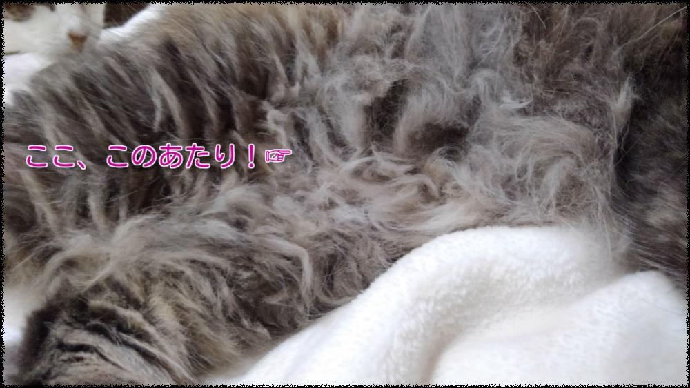 たぬきちのお腹のボサボサ毛玉