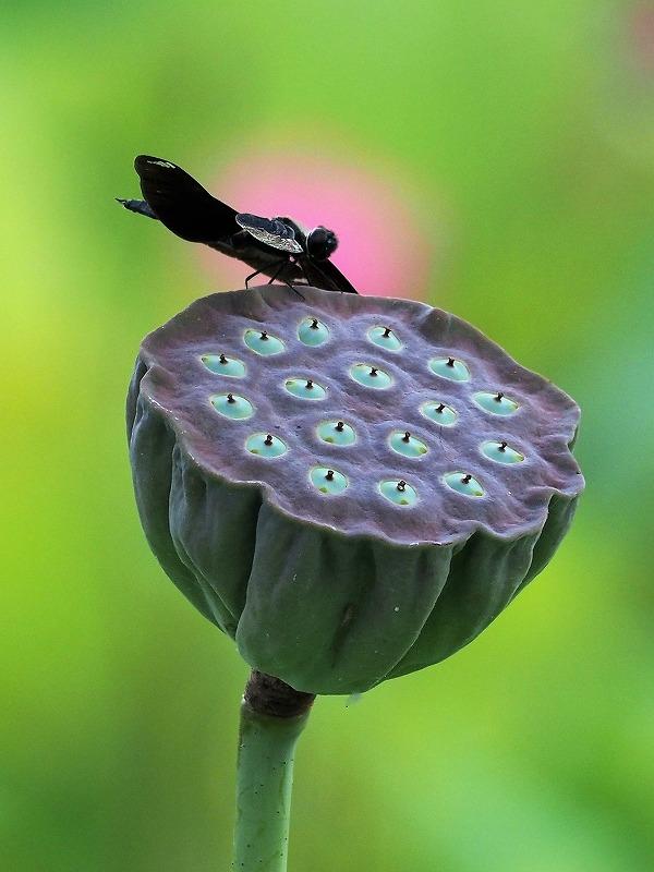 蝶トンボ1t