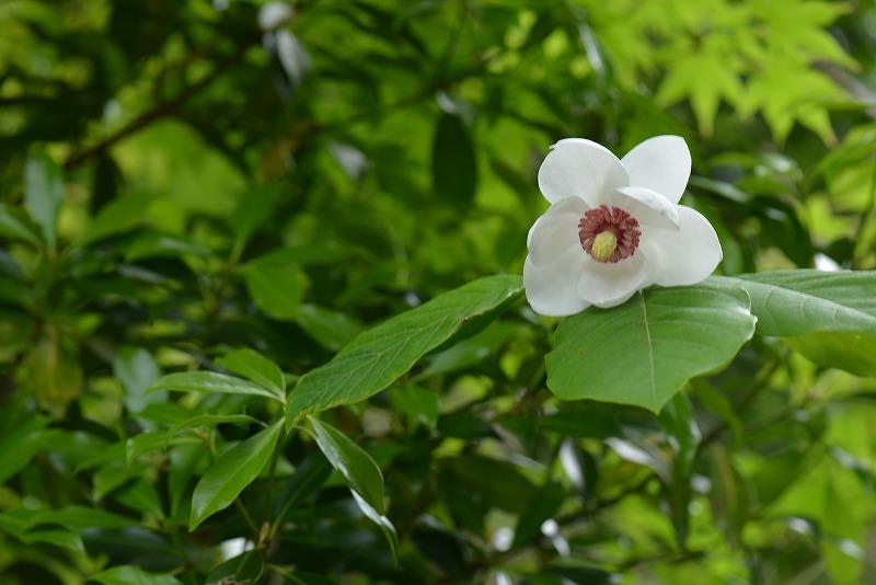 オオヤマレンゲ1