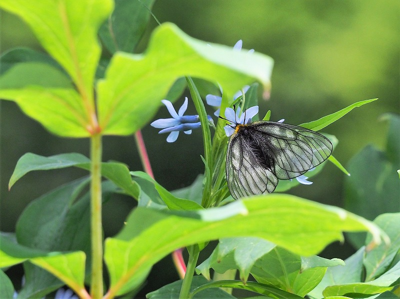 チョウジ草とウスバシロ蝶1