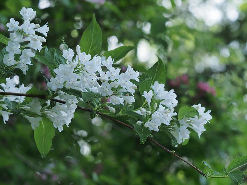 タニウツギ(白)