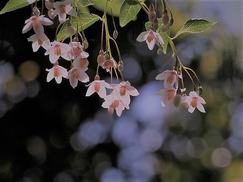ピンクのエゴの花3