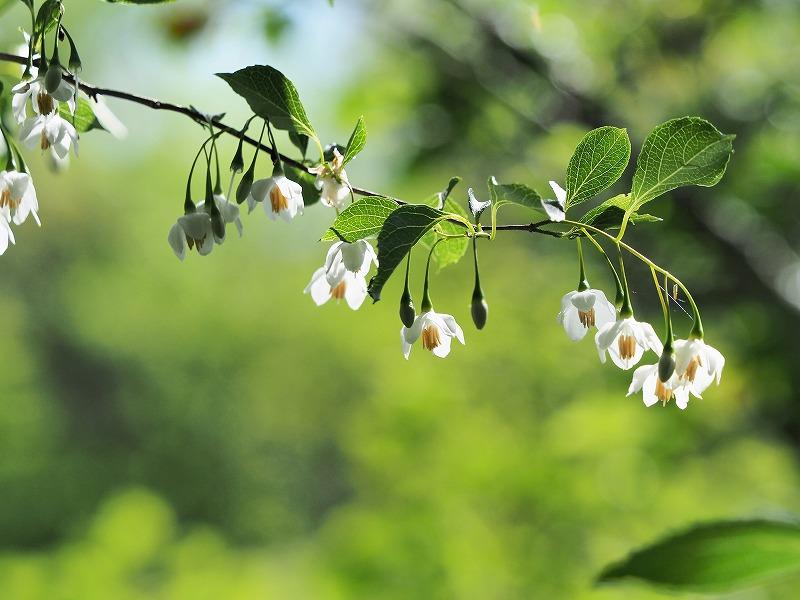 白いエゴの花3
