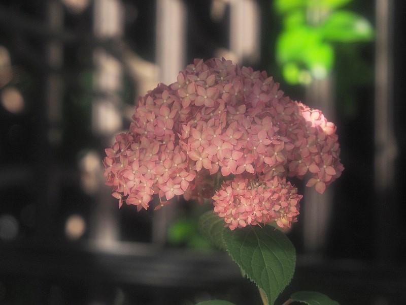 ピンクのアナベル2