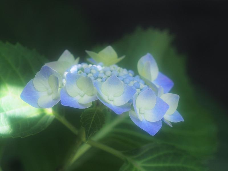 青い額紫陽花1