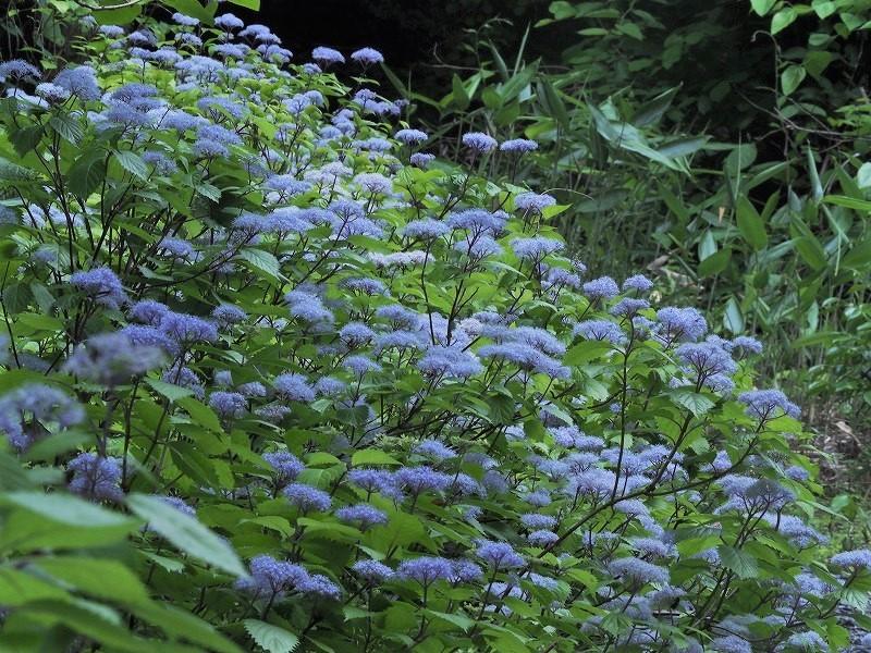小紫陽花12