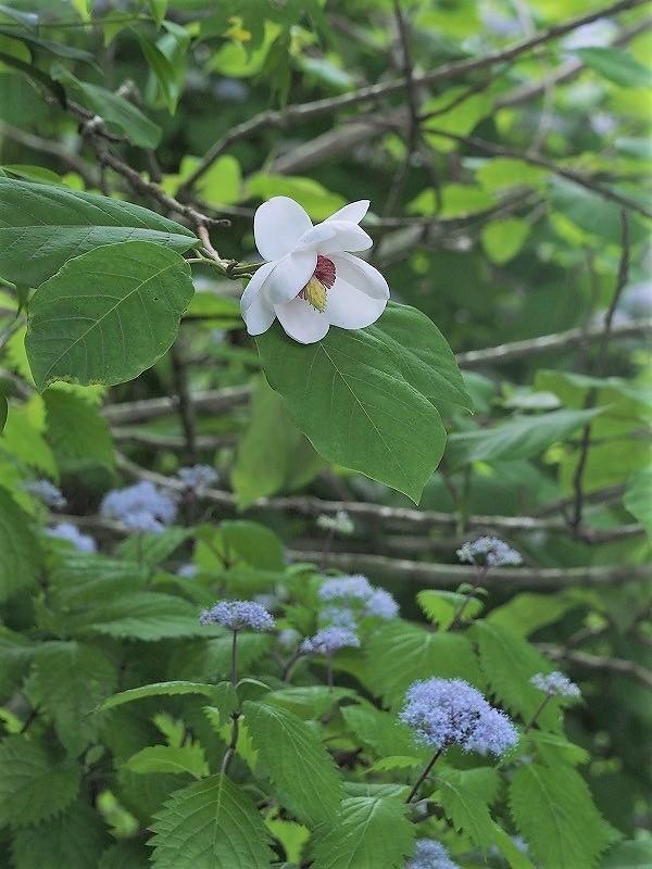 大山蓮華と小紫陽花1