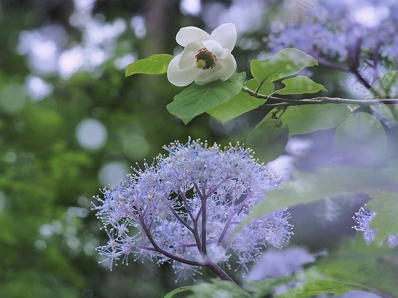大山蓮華と小紫陽花2