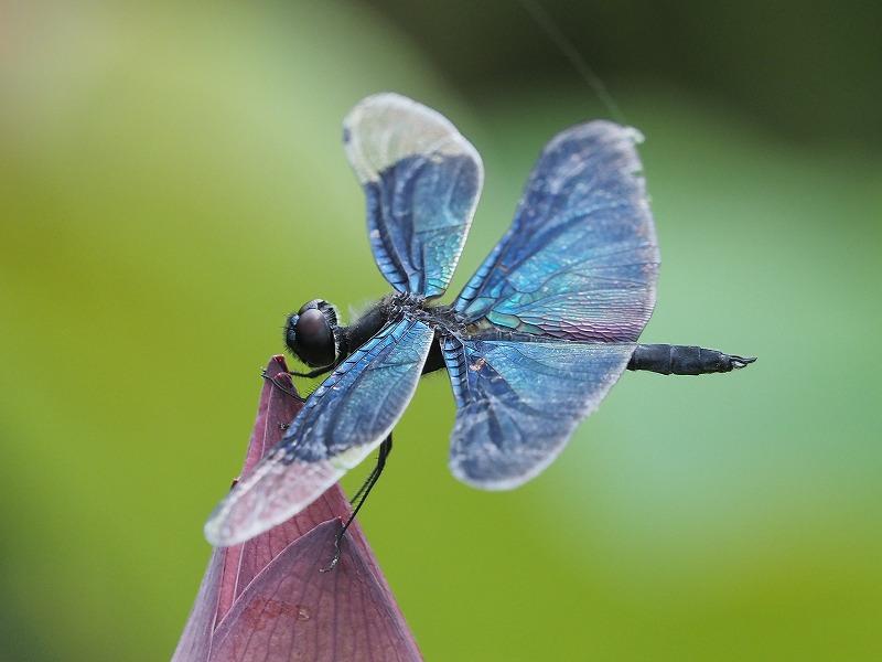 蝶トンボ5