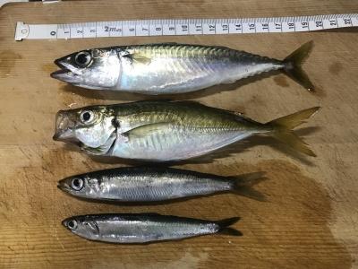 2018年8月5日 魚種