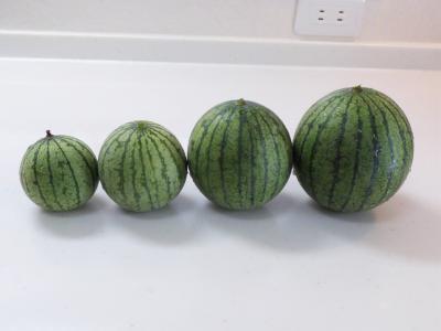 20180721スイカの収穫5
