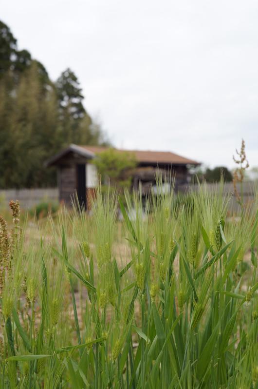 房総フィールド 六条麦