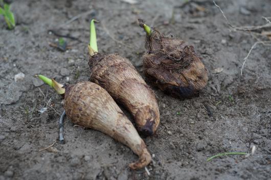 房総フィールドガーデン 里芋の植え付け