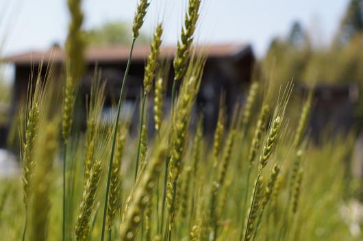 房総オルタナティブガーデン 小麦実る