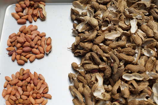 ピーナッツの種