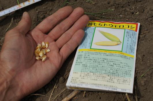固定種 黄もちトウモロコシ