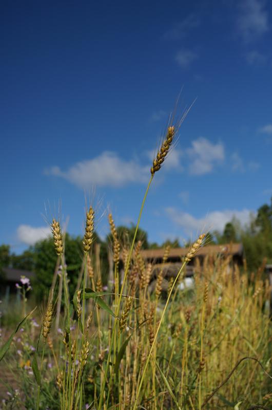 小麦 実る