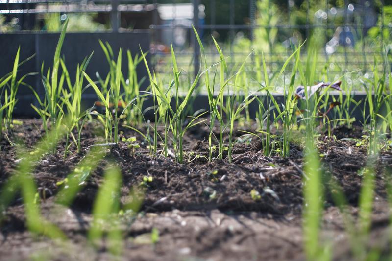 陸稲の雑草取り