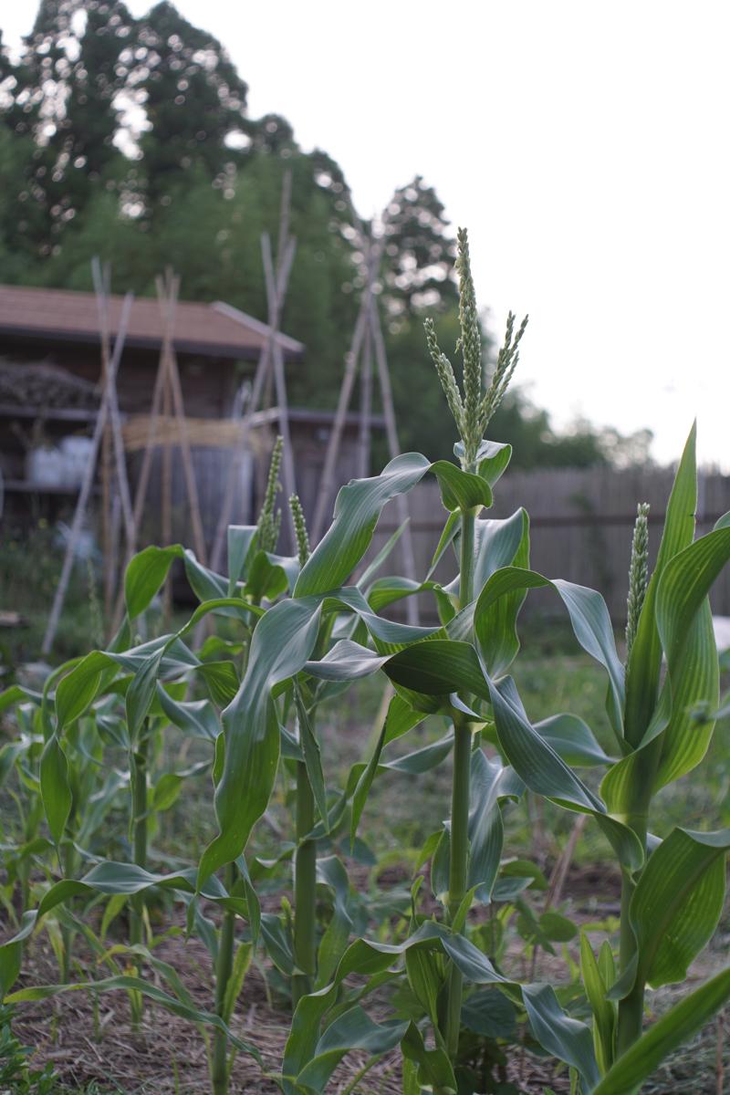 房総フィールド トウモロコシ