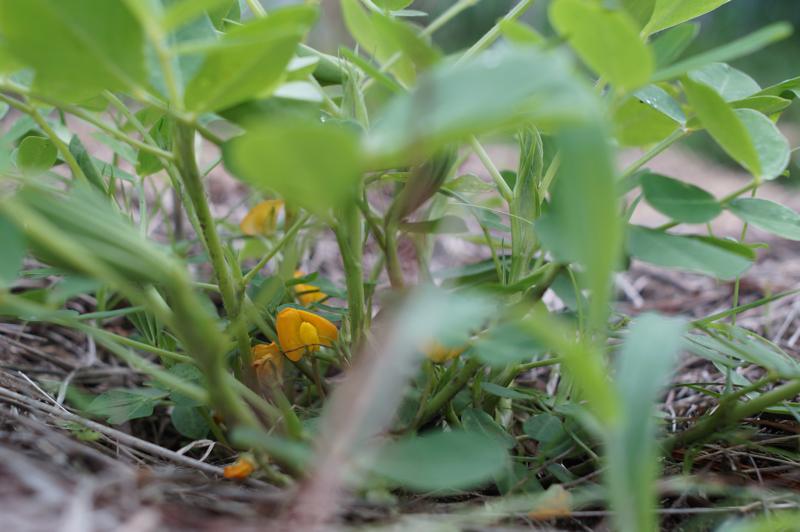 梅雨の房総フィールド ピーナッツの花