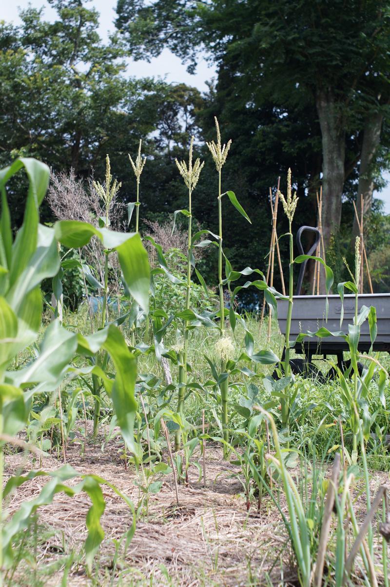 梅雨の房総フィールド トウモロコシの実が出てきた