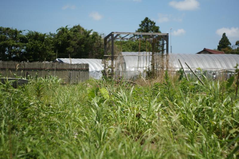 雑草に覆われるじゃがいも畑