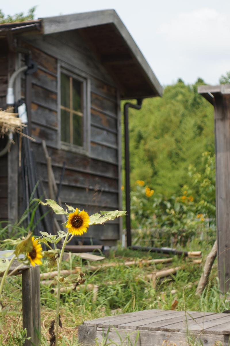夏!小屋とチビひまわり