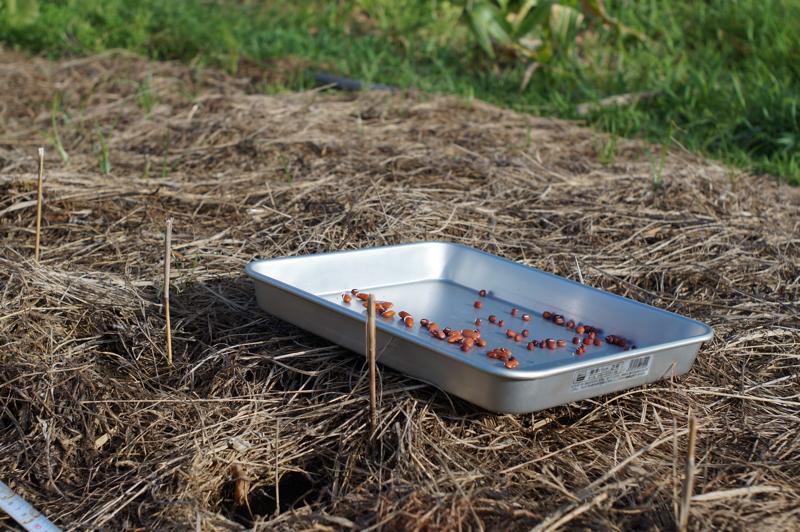 小豆とキドニービーンズの種まき