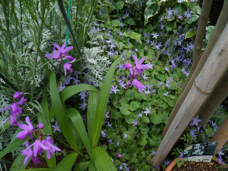 アルペンブルーと紫蘭