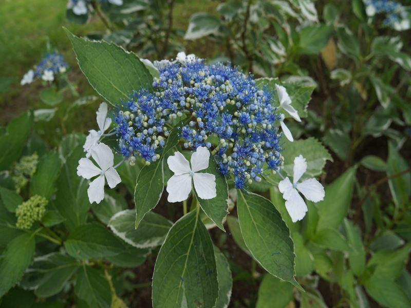紫陽花 ラピスラズリー