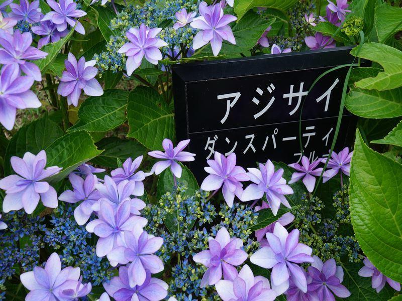 紫陽花 ダンスパーティー