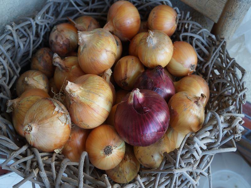 玉葱の頂き物