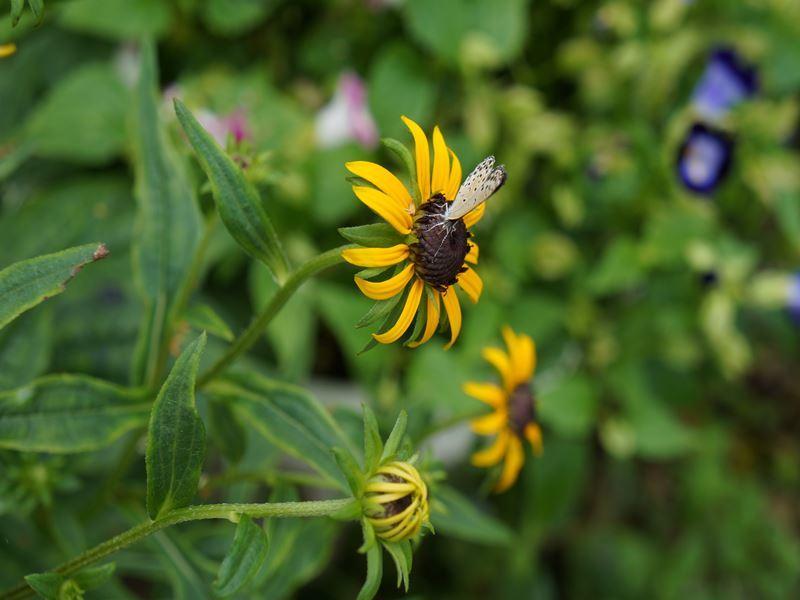 ルドベキアと小蝶