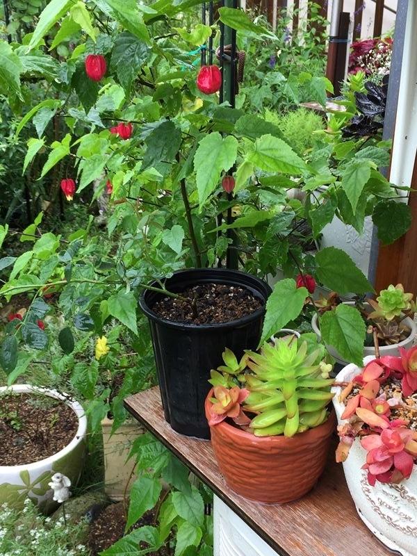 多肉植物とチロリアンランプ