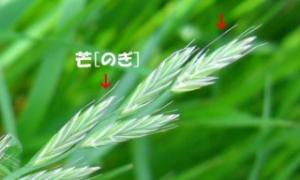 芒種(ぼうしゅ)2018③