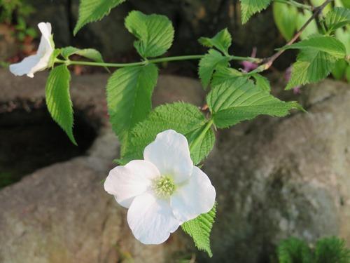 ヤマブキ(白)