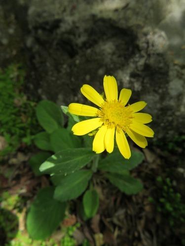 ミヤマオグルマ