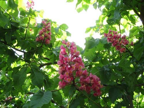 トチノキ(紅花)