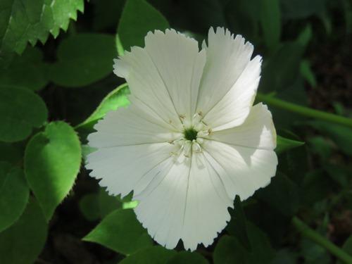 ガンピ(白)