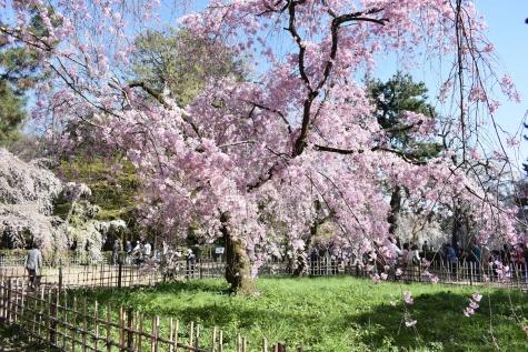 旧近衛邸の糸桜