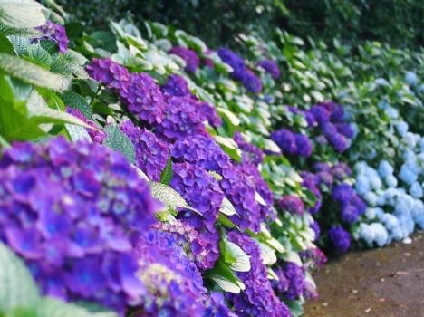 紫陽の花の家