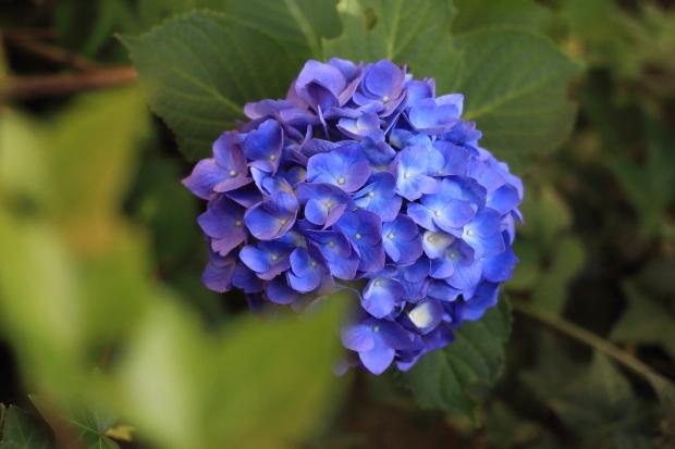 家の紫陽花00055179