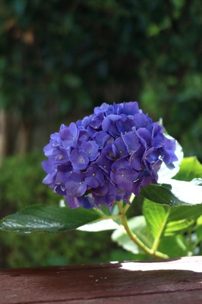 家の紫陽花00055181