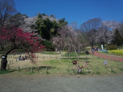 三ツ池の桜